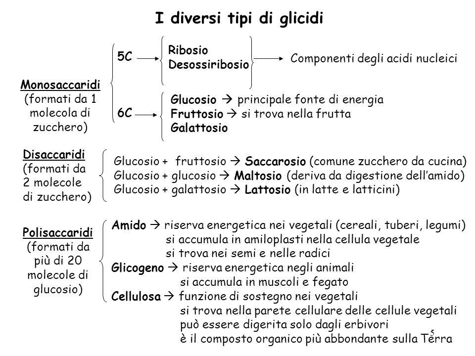 5 Disaccaridi (formati da 2 molecole di zucchero) Glucosio + fruttosio Saccarosio (comune zucchero da cucina) Glucosio + glucosio Maltosio (deriva da