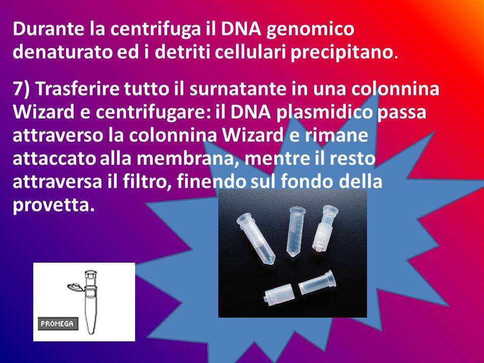 Durante la centrifuga il DNA genomico denaturato ed i detriti cellulari precipitano. 7) Trasferire tutto il surnatante in una colonnina Wizard e centr