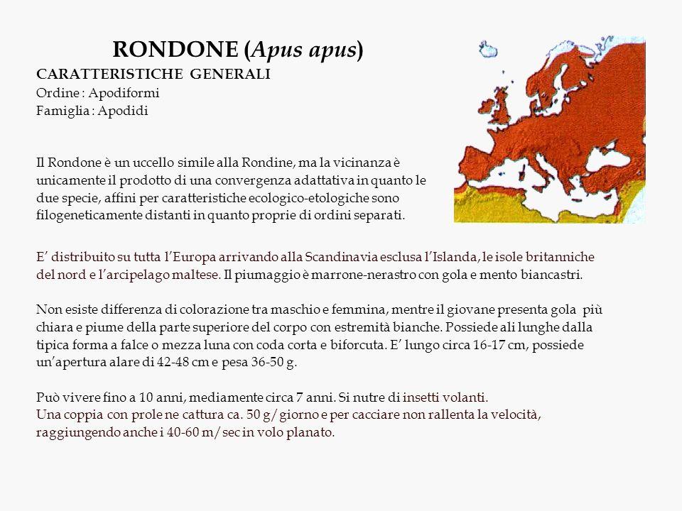 RONDONE ( Apus apus ) CARATTERISTICHE GENERALI Ordine : Apodiformi Famiglia : Apodidi Il Rondone è un uccello simile alla Rondine, ma la vicinanza è u