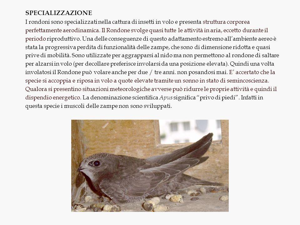 SPECIALIZZAZIONE I rondoni sono specializzati nella cattura di insetti in volo e presenta struttura corporea perfettamente aerodinamica. Il Rondone sv