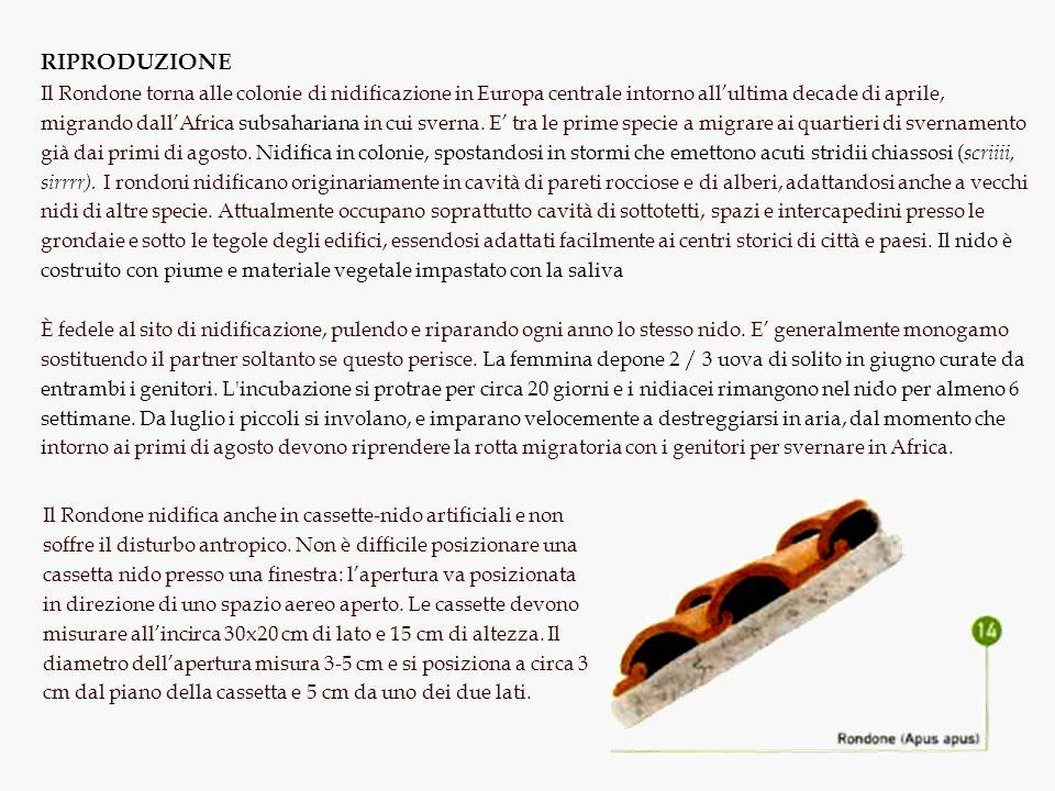 RIPRODUZIONE Il Rondone torna alle colonie di nidificazione in Europa centrale intorno allultima decade di aprile, migrando dallAfrica subsahariana in