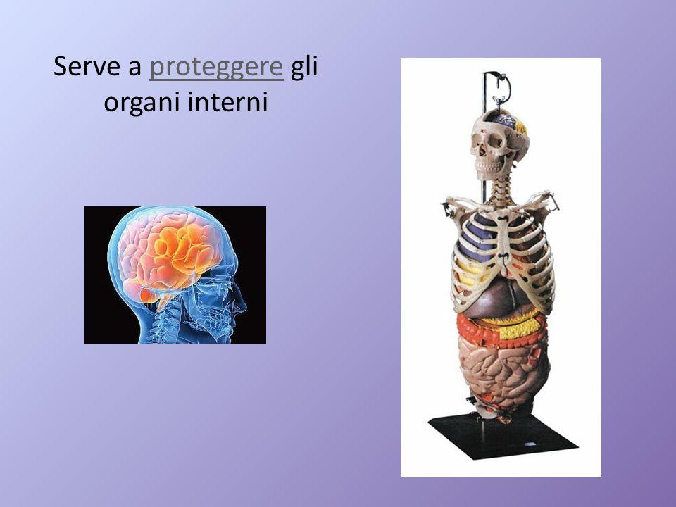 Serve a proteggere gli organi interniproteggere