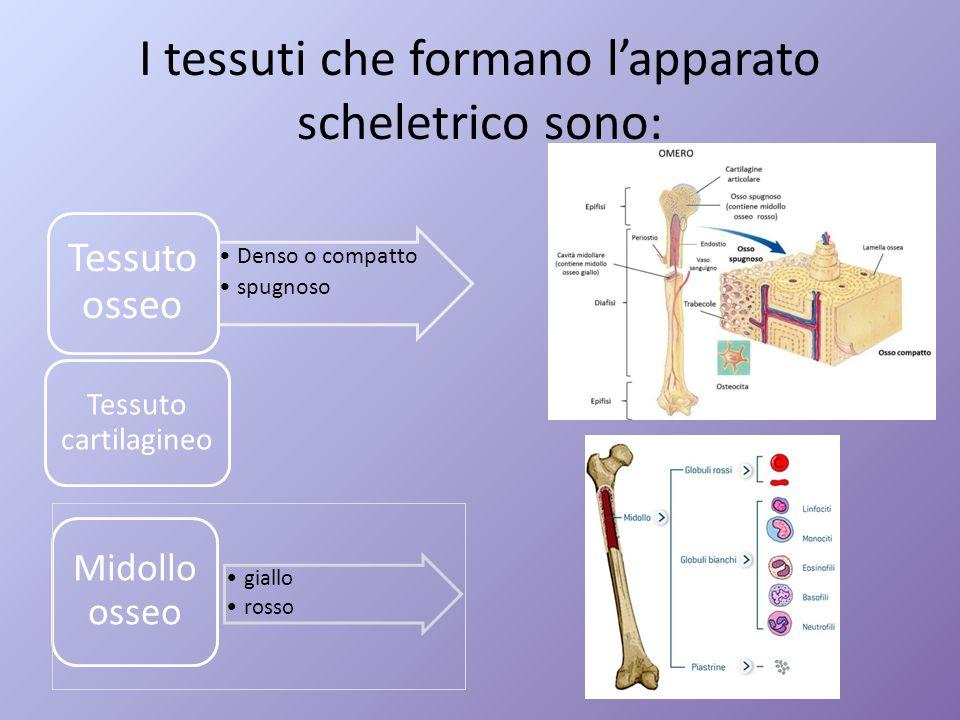 I tessuti che formano lapparato scheletrico sono: