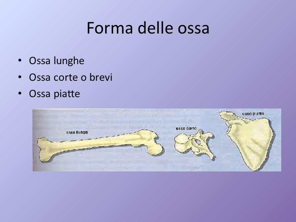 Forma delle ossa Ossa lunghe Ossa corte o brevi Ossa piatte