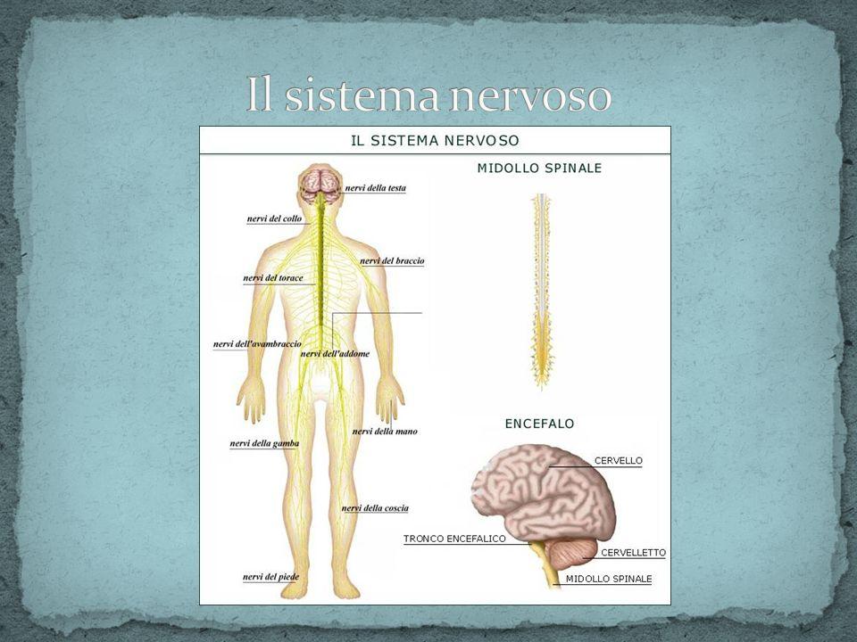 Percepire gli impulsi (le informazioni) che provengono dal mondo esterno Elaborare una risposta in base alle informazioni ricevute Trasmettere gli impulsi (la risposta) Sovraintendere alla regolazione omeostatica dellorganismo