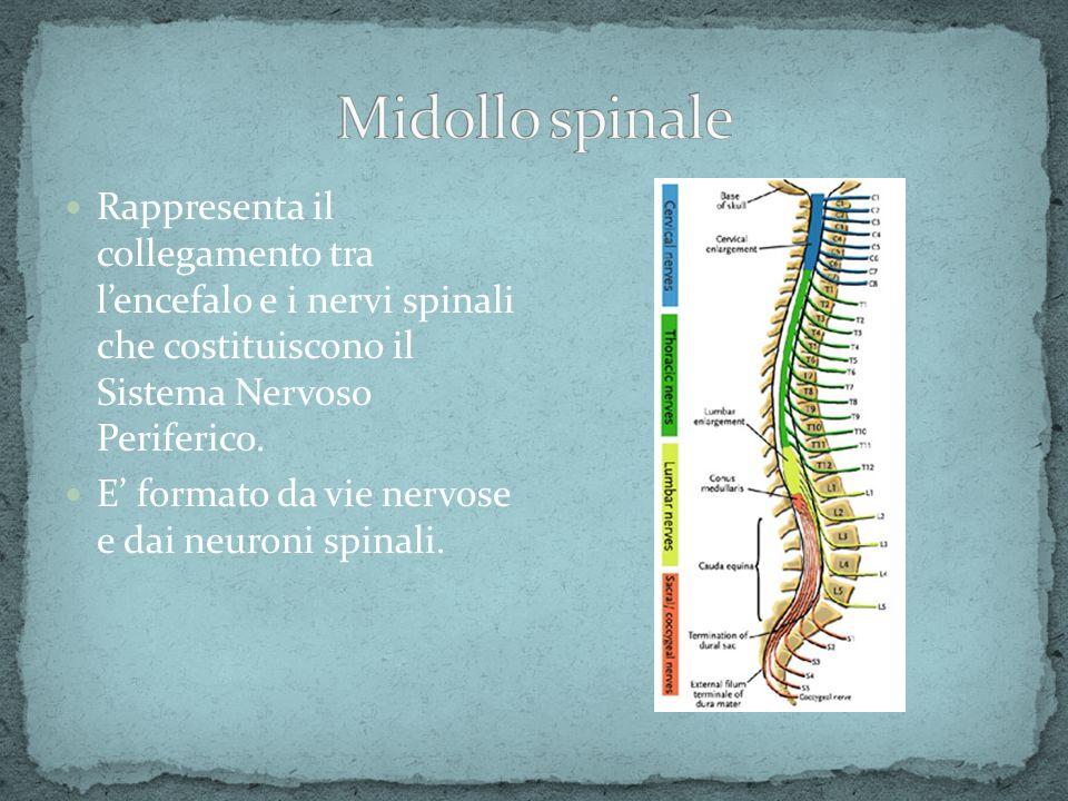 Rappresenta il collegamento tra lencefalo e i nervi spinali che costituiscono il Sistema Nervoso Periferico. E formato da vie nervose e dai neuroni sp