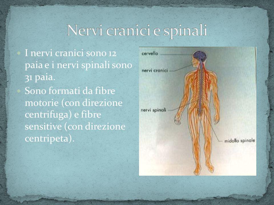 I nervi cranici sono 12 paia e i nervi spinali sono 31 paia. Sono formati da fibre motorie (con direzione centrifuga) e fibre sensitive (con direzione
