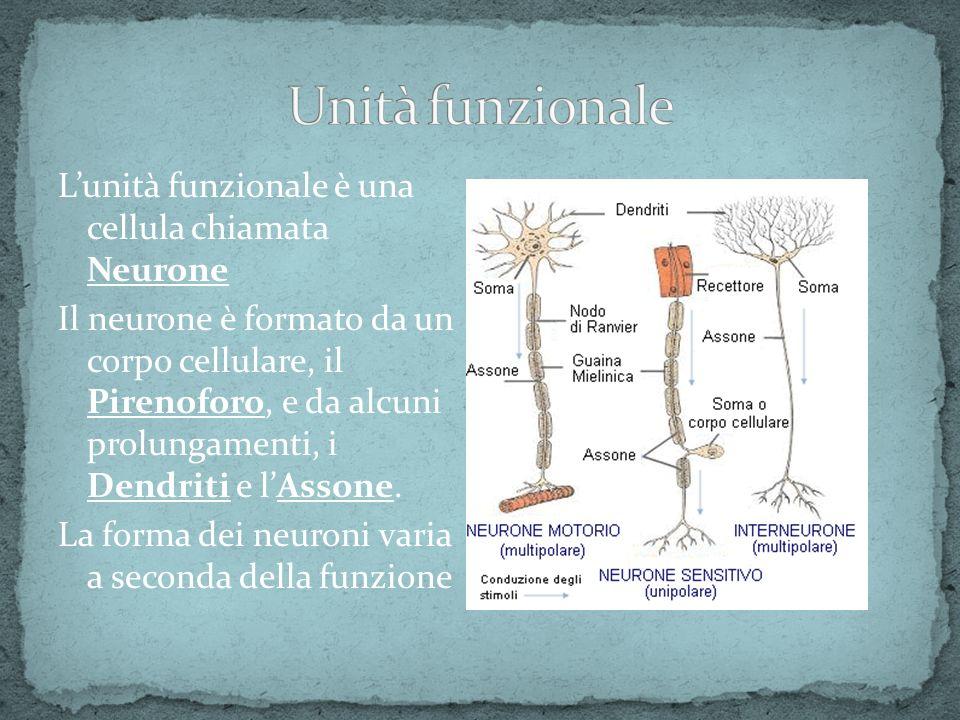 Lunità funzionale è una cellula chiamata Neurone Il neurone è formato da un corpo cellulare, il Pirenoforo, e da alcuni prolungamenti, i Dendriti e lA