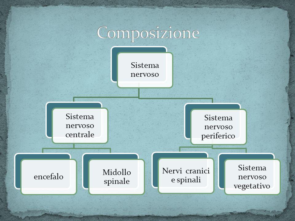 Sistema Nervoso Centrale EncefaloEncefalo Midollo spinale Sistema Nervoso Periferico Nervi cranici Nervi spinali Sistema Nervoso Autonomo Simpatico (detto anche Ortosimpatico) Parasimpatico