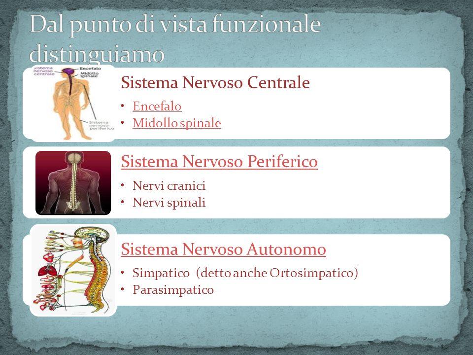 Sistema Nervoso Centrale EncefaloEncefalo Midollo spinale Sistema Nervoso Periferico Nervi cranici Nervi spinali Sistema Nervoso Autonomo Simpatico (d