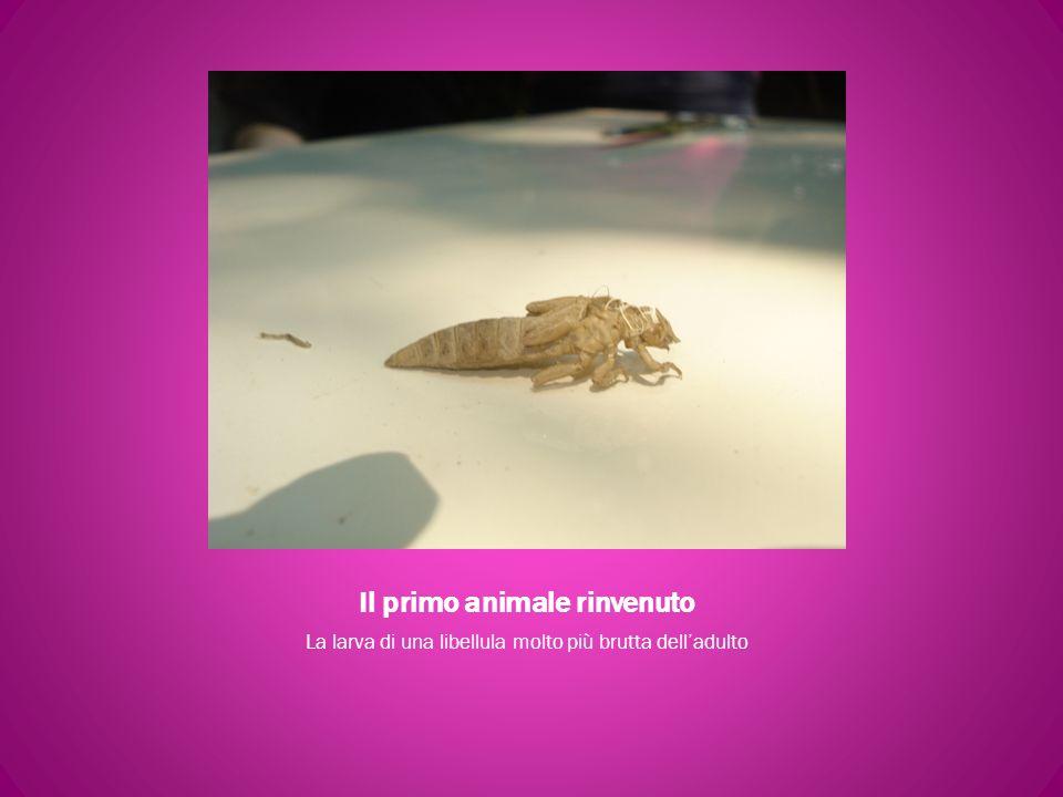 Il primo animale rinvenuto La larva di una libellula molto più brutta delladulto