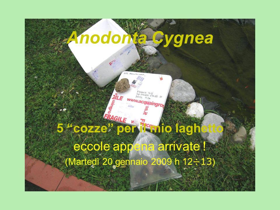 Anodonta Cygnea 5 cozze per il mio laghetto eccole appena arrivate ! (Martedì 20 gennaio 2009 h 12 ÷13 )