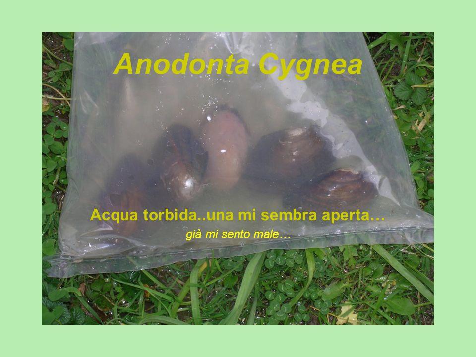 Anodonta Cygnea Acqua torbida..una mi sembra aperta… già mi sento male…