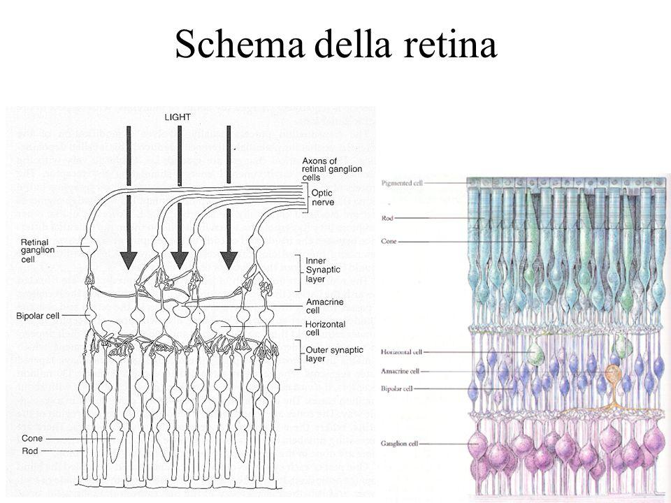 10 Schema della retina