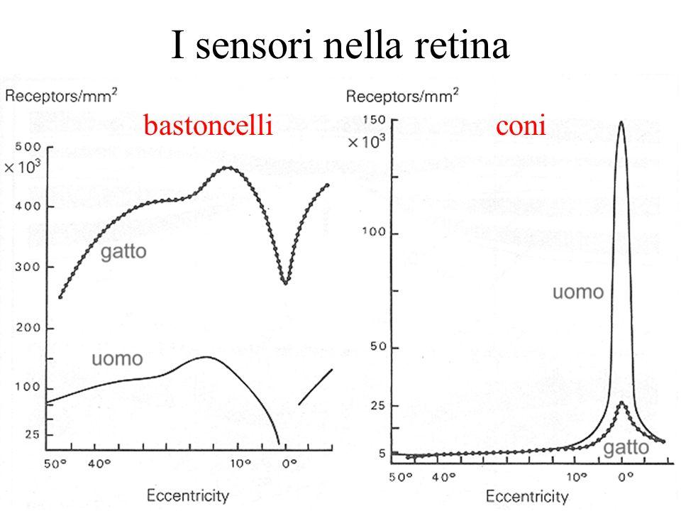 13 I sensori nella retina bastoncelliconi