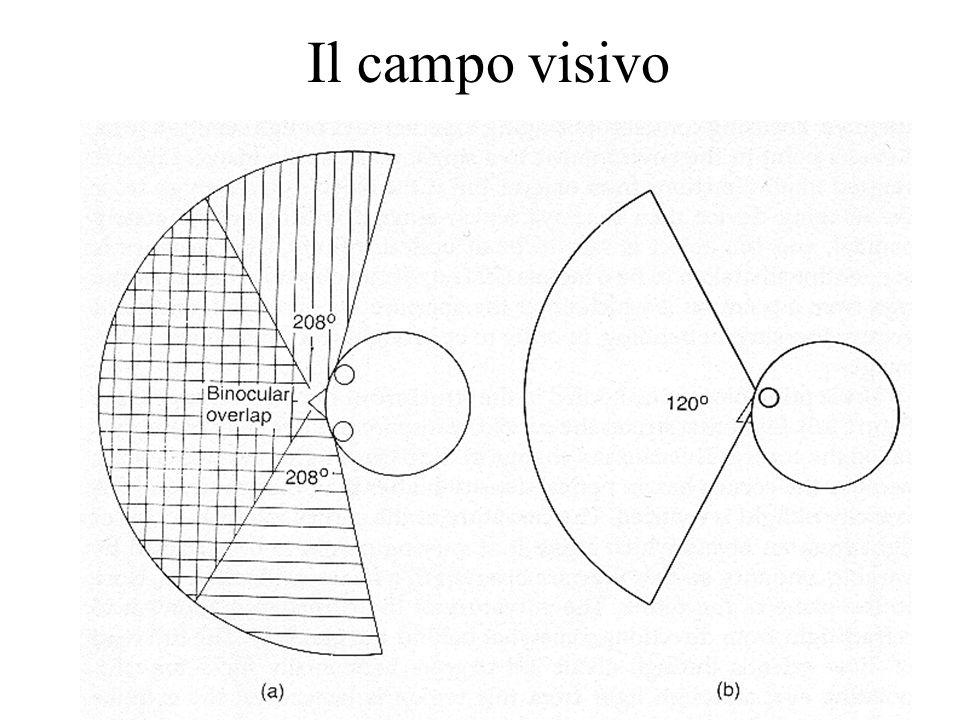 17 Il campo visivo
