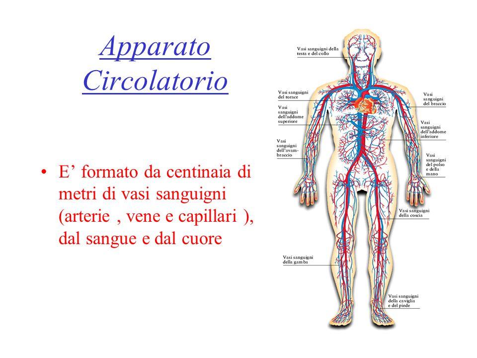 Apparato Circolatorio E formato da centinaia di metri di vasi sanguigni (arterie, vene e capillari ), dal sangue e dal cuore