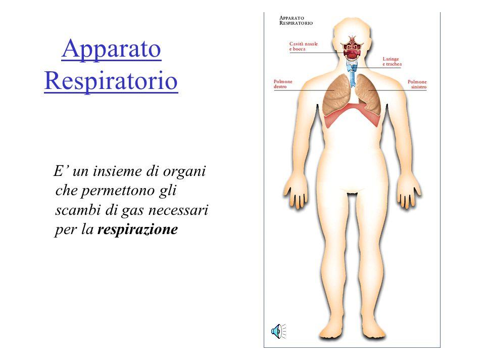 Apparato Respiratorio E un insieme di organi che permettono gli scambi di gas necessari per la respirazione