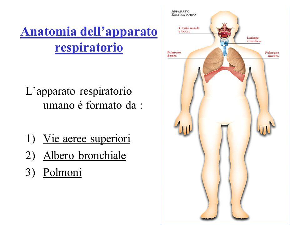 Vie aeree superiori Le vie aeree superiori sono costituite da : Naso ( cavità nasali ) Faringe Laringe Questi organi non hanno solo la funzione di trasporto dei gas ma hanno anche funzione olfattiva, digestiva e fonatoria