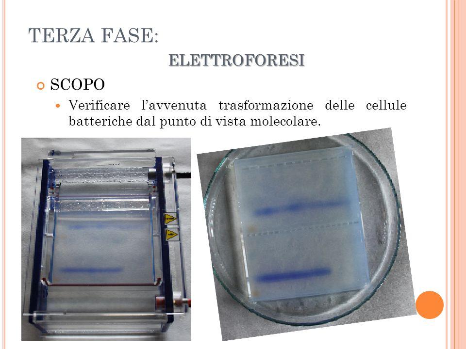 ELETTROFORESI TERZA FASE: ELETTROFORESI SCOPO Verificare lavvenuta trasformazione delle cellule batteriche dal punto di vista molecolare.