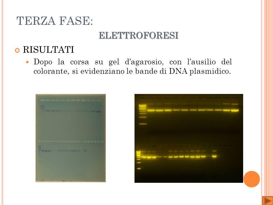 ELETTROFORESI TERZA FASE: ELETTROFORESI RISULTATI Dopo la corsa su gel dagarosio, con lausilio del colorante, si evidenziano le bande di DNA plasmidico.