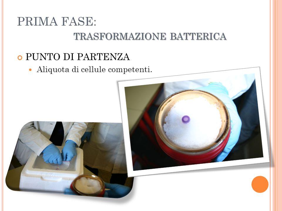 TRASFORMAZIONE BATTERICA PRIMA FASE: TRASFORMAZIONE BATTERICA PUNTO DI PARTENZA Aliquota di cellule competenti.