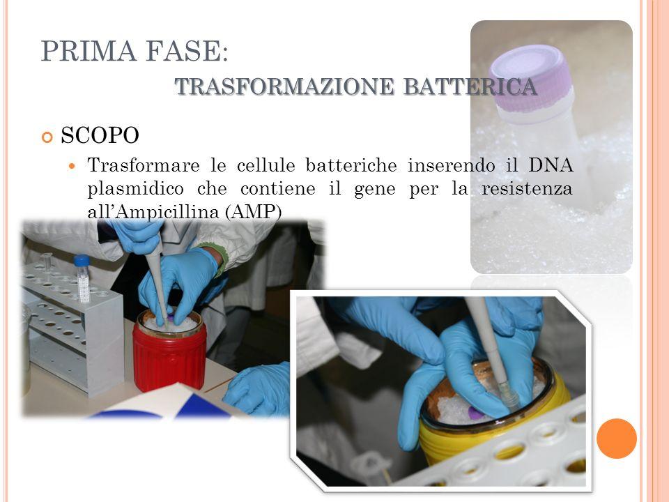 PRIMA FASE: TRASFORMAZIONE BATTERICA RISULTATI: Le cellule trasformate, piastrate su terreno con antibiotico, svilupperanno delle colonie.
