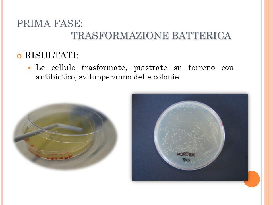 PREPARAZIONE DI COLTURE LIQUIDE Passaggio intermedio tra 1° e 2° fase: Vengono preparate colture liquide di batteri trasformati, a partire da colonie cresciute su terreno solido.