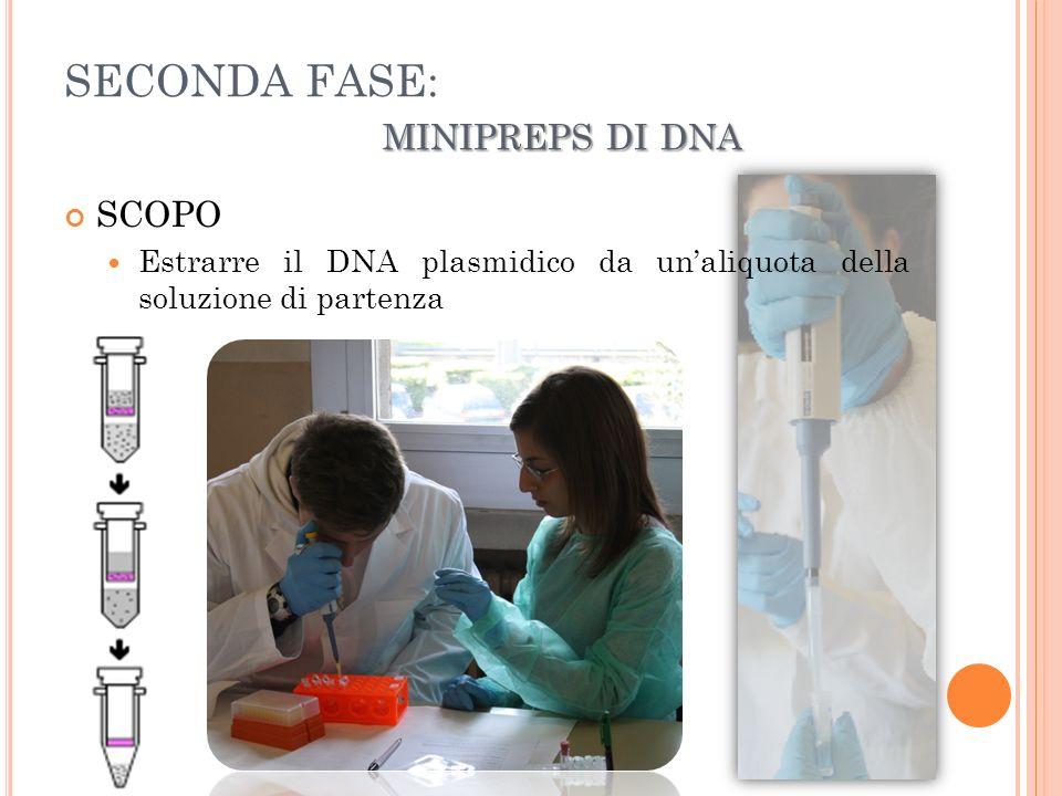 MINIPREPS DI DNA SECONDA FASE: MINIPREPS DI DNA SCOPO Estrarre il DNA plasmidico da unaliquota della soluzione di partenza