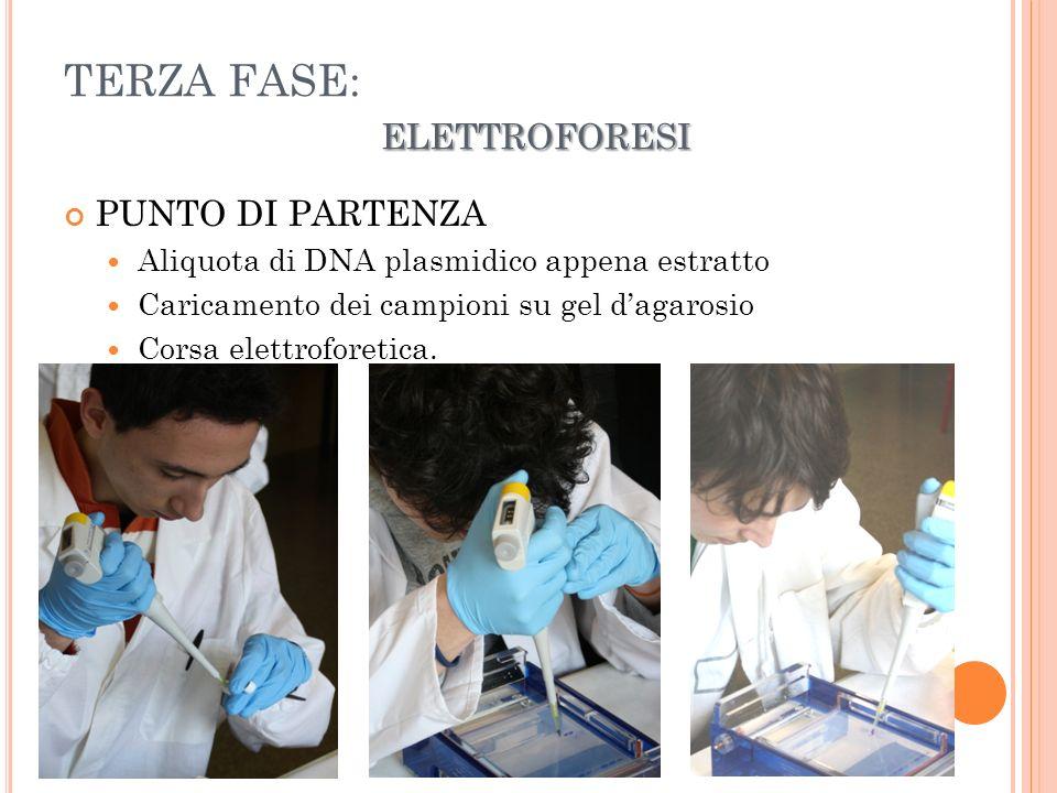 ELETTROFORESI TERZA FASE: ELETTROFORESI PUNTO DI PARTENZA Aliquota di DNA plasmidico appena estratto Caricamento dei campioni su gel dagarosio Corsa elettroforetica.