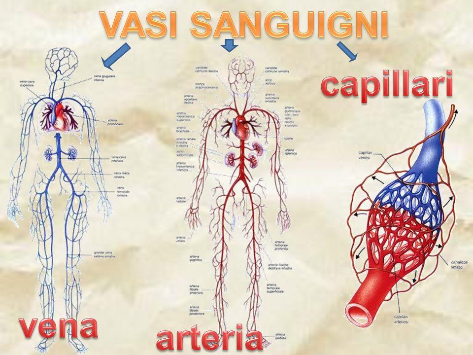 La vena è un tubicino un po più sottile dell arteria,dentro cui scorre il sangue sporco cioè carico di anidride carbonica.