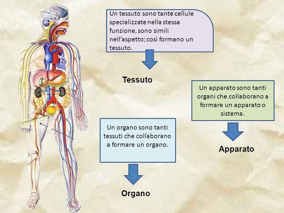 Un tessuto sono tante cellule specializzate nella stessa funzione, sono simili nellaspetto; così formano un tessuto.