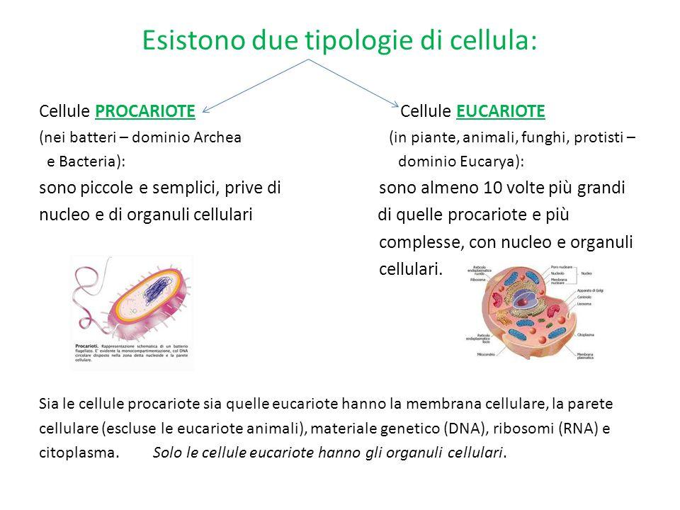 Esistono due tipologie di cellula: Cellule PROCARIOTE Cellule EUCARIOTE (nei batteri – dominio Archea (in piante, animali, funghi, protisti – e Bacter
