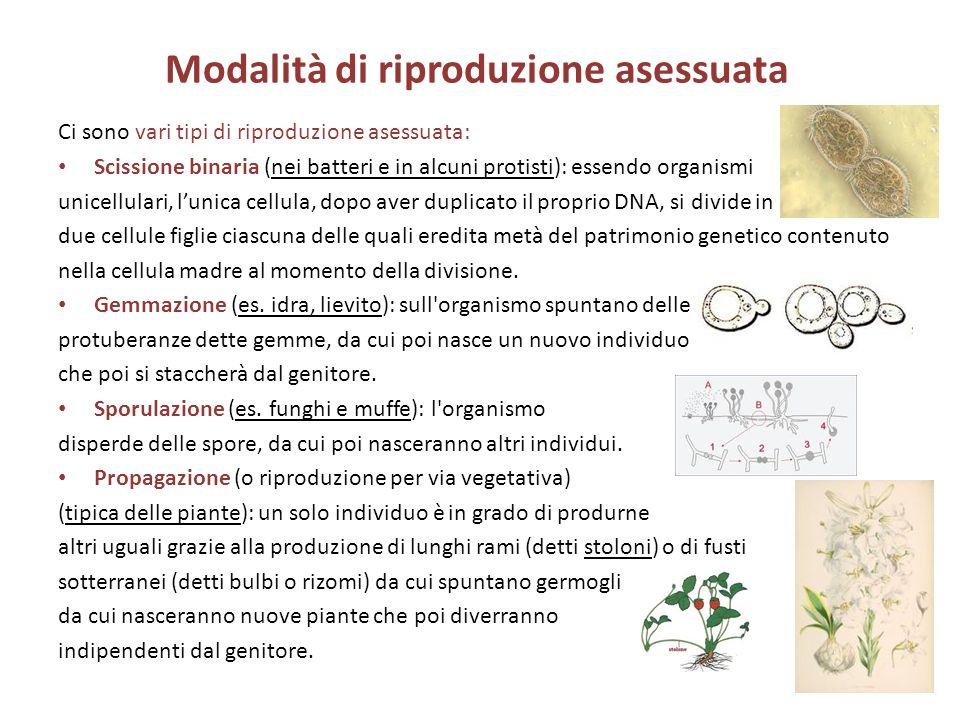 Modalità di riproduzione asessuata Ci sono vari tipi di riproduzione asessuata: Scissione binaria (nei batteri e in alcuni protisti): essendo organism