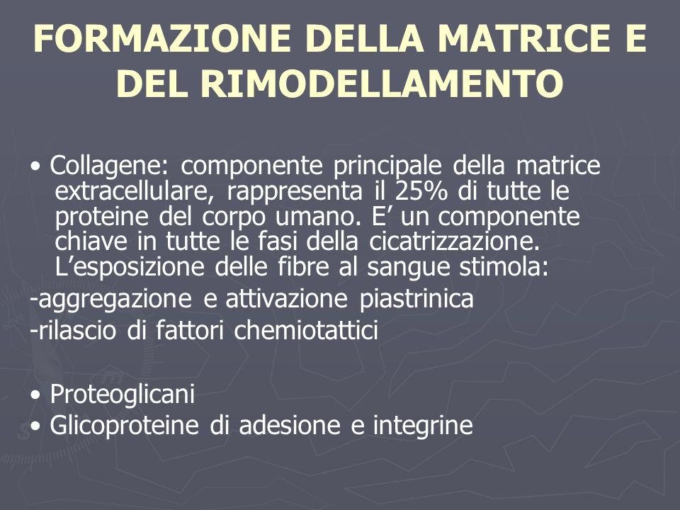 FORMAZIONE DELLA MATRICE E DEL RIMODELLAMENTO Collagene: componente principale della matrice extracellulare, rappresenta il 25% di tutte le proteine d