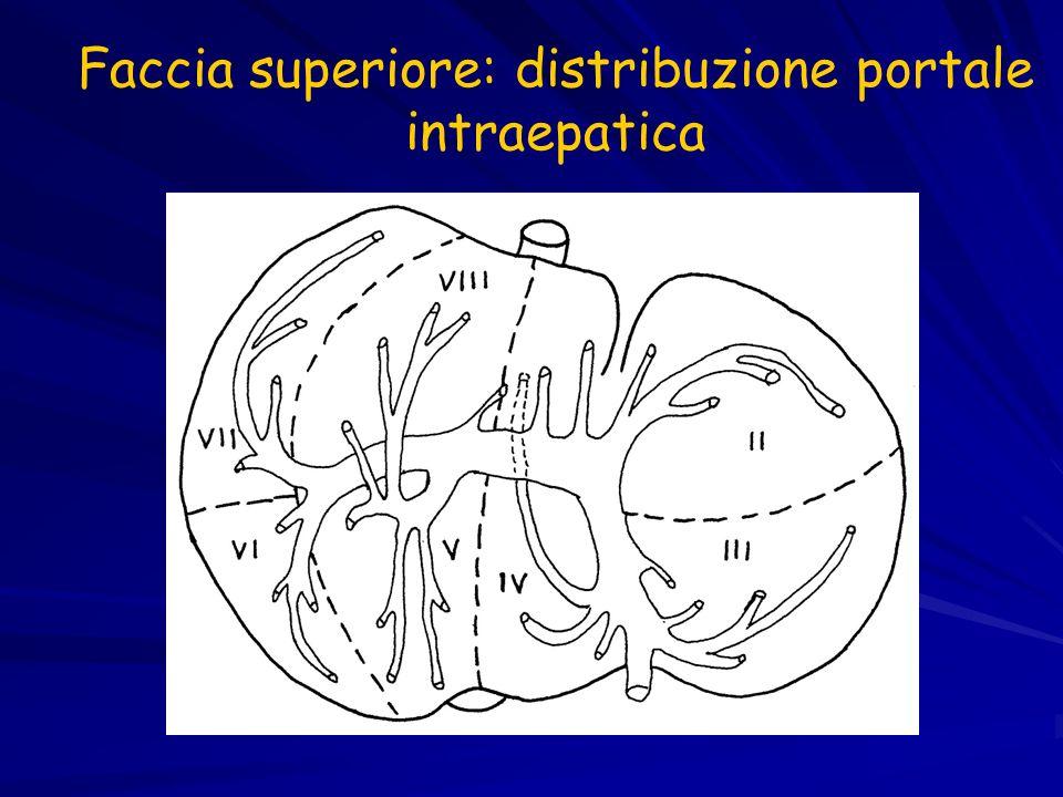 Faccia superiore: distribuzione portale intraepatica