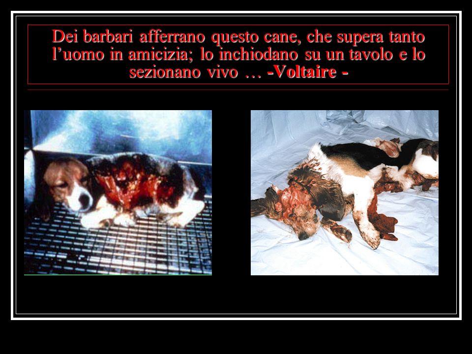 Dei barbari afferrano questo cane, che supera tanto luomo in amicizia; lo inchiodano su un tavolo e lo sezionano vivo … -Voltaire -