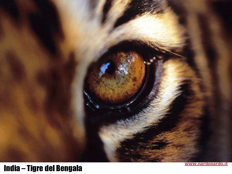 India – Tigre del Bengala www.nardonardo.it