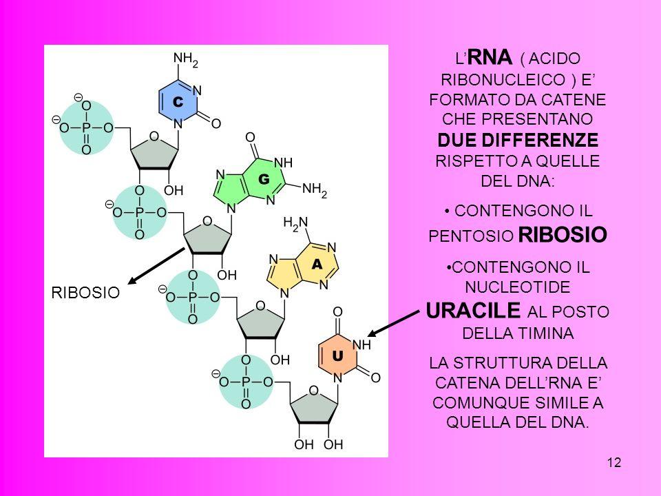 12 L RNA ( ACIDO RIBONUCLEICO ) E FORMATO DA CATENE CHE PRESENTANO DUE DIFFERENZE RISPETTO A QUELLE DEL DNA: CONTENGONO IL PENTOSIO RIBOSIO CONTENGONO