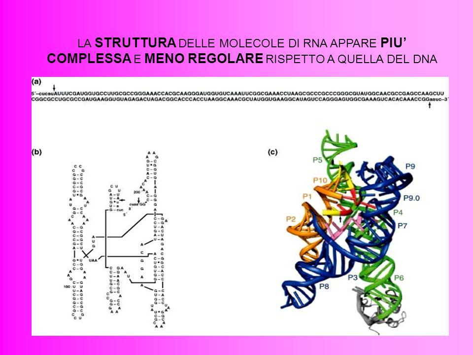 13 LA STRUTTURA DELLE MOLECOLE DI RNA APPARE PIU COMPLESSA E MENO REGOLARE RISPETTO A QUELLA DEL DNA