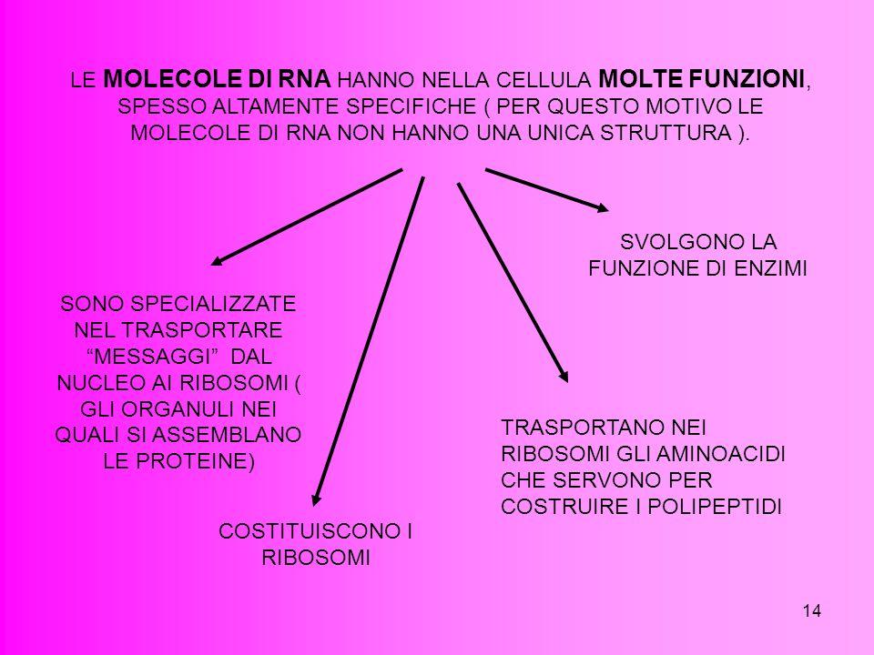 14 LE MOLECOLE DI RNA HANNO NELLA CELLULA MOLTE FUNZIONI, SPESSO ALTAMENTE SPECIFICHE ( PER QUESTO MOTIVO LE MOLECOLE DI RNA NON HANNO UNA UNICA STRUT
