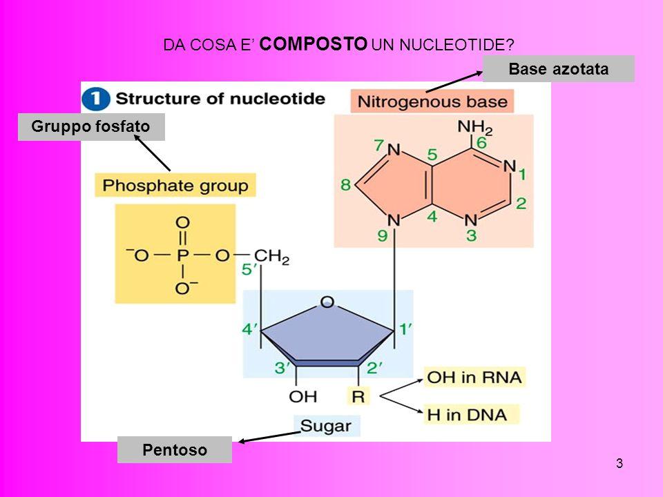 3 DA COSA E COMPOSTO UN NUCLEOTIDE? Base azotata Gruppo fosfato Pentoso