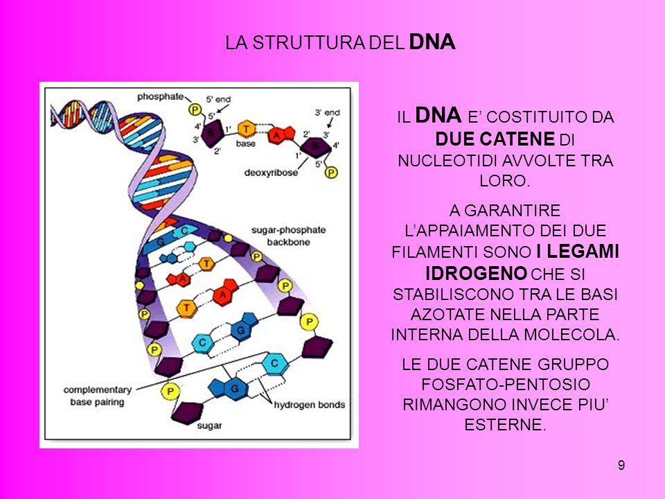 9 LA STRUTTURA DEL DNA IL DNA E COSTITUITO DA DUE CATENE DI NUCLEOTIDI AVVOLTE TRA LORO. A GARANTIRE LAPPAIAMENTO DEI DUE FILAMENTI SONO I LEGAMI IDRO