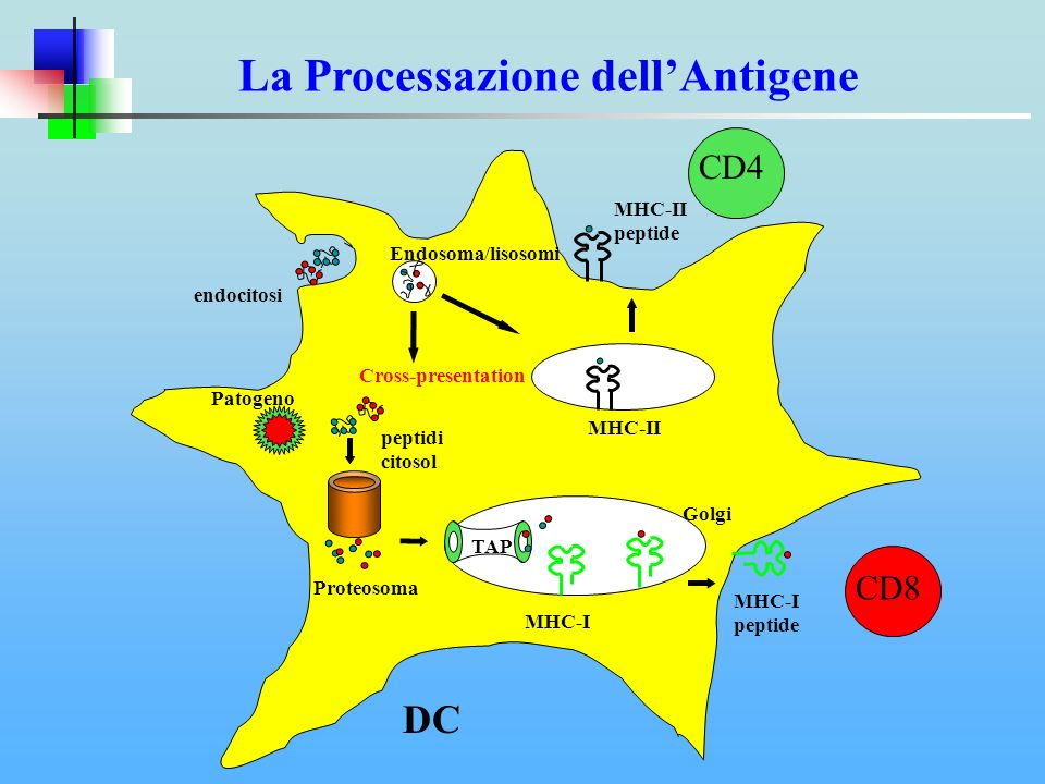 endocitosi MHC-II Endosoma/lisosomi TAP MHC-I Golgi Proteosoma peptidi citosol Patogeno Cross-presentation MHC-II peptide CD4 MHC-I peptide CD8 La Pro