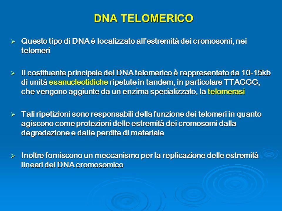 DNA TELOMERICO Questo tipo di DNA è localizzato allestremità dei cromosomi, nei telomeri Questo tipo di DNA è localizzato allestremità dei cromosomi, nei telomeri Il costituente principale del DNA telomerico è rappresentato da 10-15kb di unità esanucleotidiche ripetute in tandem, in particolare TTAGGG, che vengono aggiunte da un enzima specializzato, la telomerasi Il costituente principale del DNA telomerico è rappresentato da 10-15kb di unità esanucleotidiche ripetute in tandem, in particolare TTAGGG, che vengono aggiunte da un enzima specializzato, la telomerasi Tali ripetizioni sono responsabili della funzione dei telomeri in quanto agiscono come protezioni delle estremità dei cromosomi dalla degradazione e dalle perdite di materiale Tali ripetizioni sono responsabili della funzione dei telomeri in quanto agiscono come protezioni delle estremità dei cromosomi dalla degradazione e dalle perdite di materiale Inoltre forniscono un meccanismo per la replicazione delle estremità lineari del DNA cromosomico Inoltre forniscono un meccanismo per la replicazione delle estremità lineari del DNA cromosomico