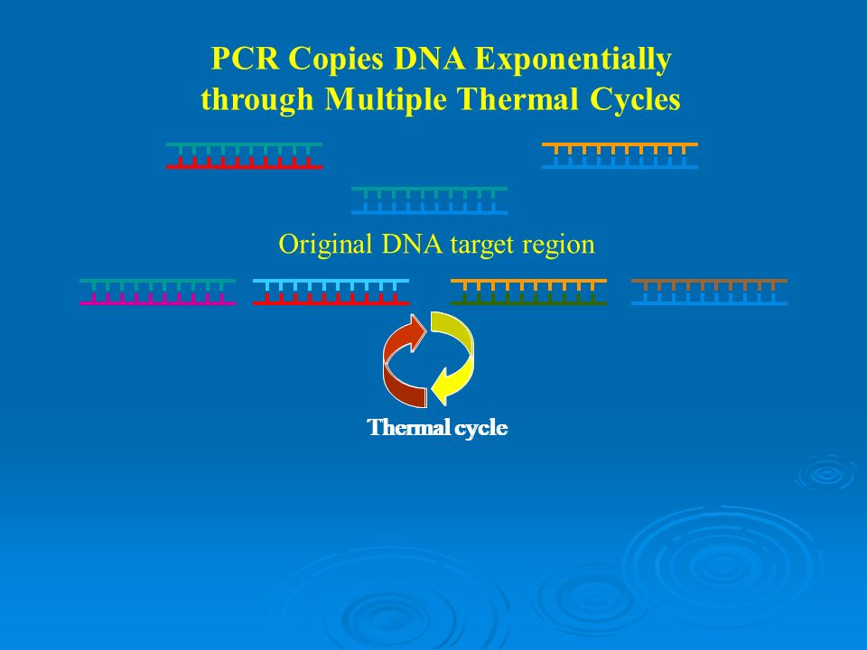 PCR Copies DNA Exponentially through Multiple Thermal Cycles Original DNA target region Thermal cycle