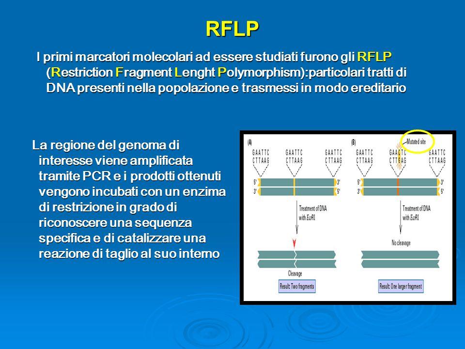 RFLP La regione del genoma di interesse viene amplificata tramite PCR e i prodotti ottenuti vengono incubati con un enzima di restrizione in grado di riconoscere una sequenza specifica e di catalizzare una reazione di taglio al suo interno La regione del genoma di interesse viene amplificata tramite PCR e i prodotti ottenuti vengono incubati con un enzima di restrizione in grado di riconoscere una sequenza specifica e di catalizzare una reazione di taglio al suo interno I primi marcatori molecolari ad essere studiati furono gli RFLP (Restriction Fragment Lenght Polymorphism):particolari tratti di DNA presenti nella popolazione e trasmessi in modo ereditario I primi marcatori molecolari ad essere studiati furono gli RFLP (Restriction Fragment Lenght Polymorphism):particolari tratti di DNA presenti nella popolazione e trasmessi in modo ereditario