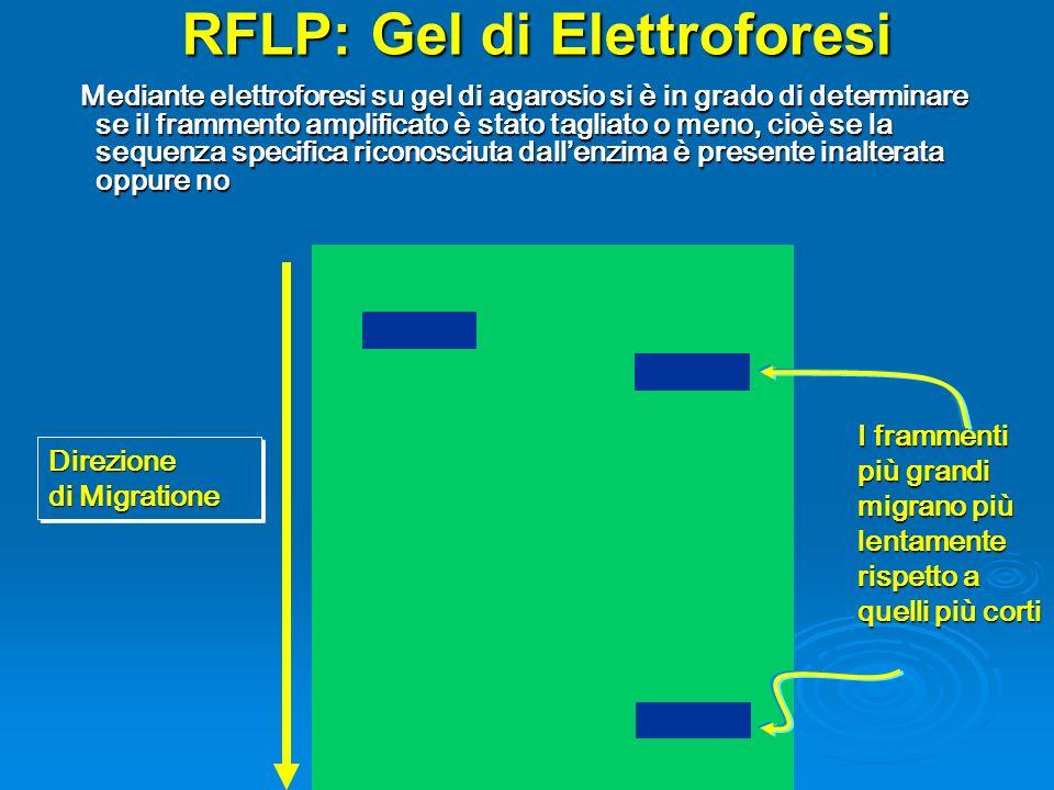 RFLP: Gel di Elettroforesi Mediante elettroforesi su gel di agarosio si è in grado di determinare se il frammento amplificato è stato tagliato o meno, cioè se la sequenza specifica riconosciuta dallenzima è presente inalterata oppure no Mediante elettroforesi su gel di agarosio si è in grado di determinare se il frammento amplificato è stato tagliato o meno, cioè se la sequenza specifica riconosciuta dallenzima è presente inalterata oppure no Direzione di Migratione I frammenti più grandi migrano più lentamente rispetto a quelli più corti