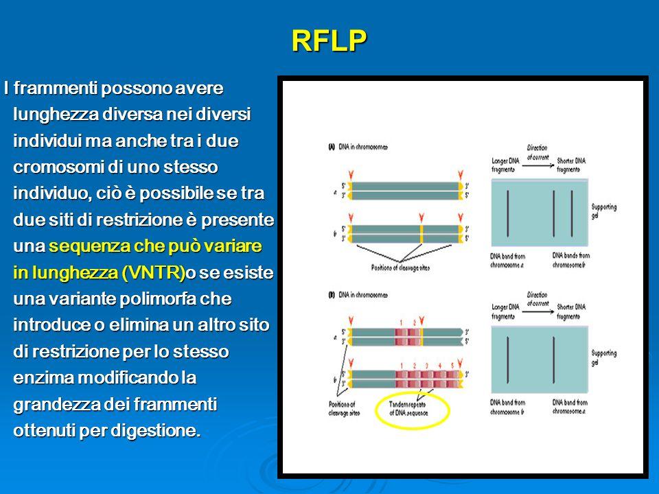 RFLP I frammenti possono avere lunghezza diversa nei diversi individui ma anche tra i due cromosomi di uno stesso individuo, ciò è possibile se tra due siti di restrizione è presente una sequenza che può variare in lunghezza (VNTR)o se esiste una variante polimorfa che introduce o elimina un altro sito di restrizione per lo stesso enzima modificando la grandezza dei frammenti ottenuti per digestione.