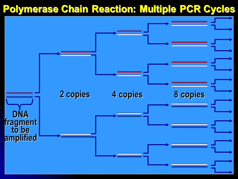 Polymerase Chain Reaction: Multiple PCR Cycles DNA fragment to be amplified 2 copies 4 copies8 copies